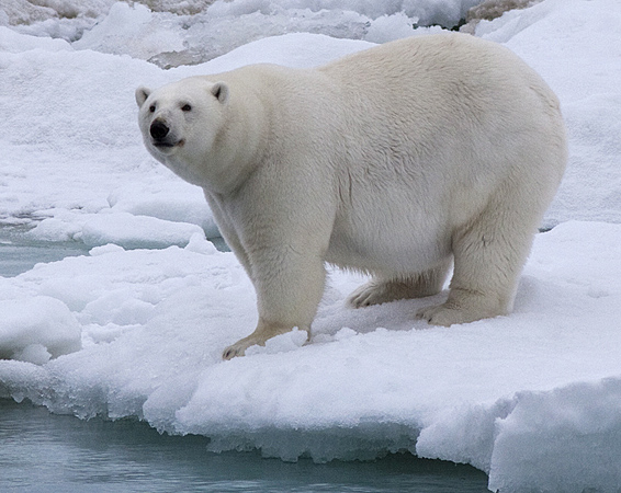 Image result for fat polar bear