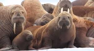 Walrus pups vulnerable